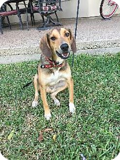 Hound (Unknown Type) Mix Dog for adoption in Richardson, Texas - Brody II