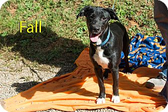 Labrador Retriever/Hound (Unknown Type) Mix Dog for adoption in Broadway, New Jersey - Fall