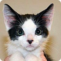 Domestic Shorthair Kitten for adoption in Wildomar, California - 321793