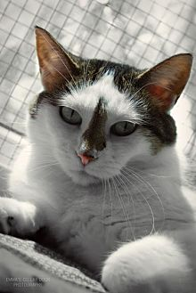 Domestic Shorthair Cat for adoption in South Amana, Iowa - Gidget