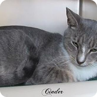 Domestic Shorthair Cat for adoption in Jackson, New Jersey - Cinder