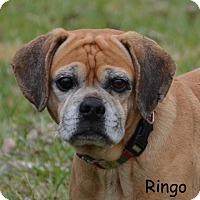 Adopt A Pet :: Rinigo - DuQuoin, IL