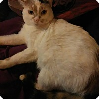Adopt A Pet :: Callie - Middletown, OH