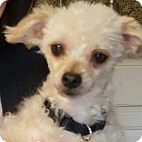 Adopt A Pet :: Amber - Alpharetta, GA