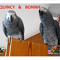 Adopt A Pet :: Dynamic Duo African 2 Grey's - Vancouver, WA