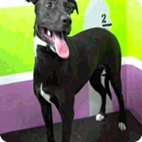 Adopt A Pet :: Miranda - Fort Collins, CO