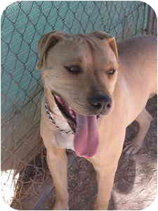 Pit Bull Terrier/Labrador Retriever Mix Dog for adoption in Las Cruces, New Mexico - Spike
