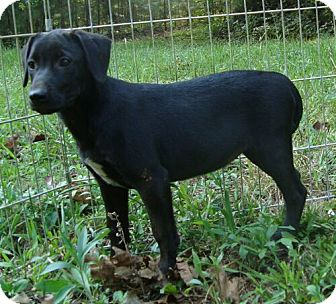 Labrador Retriever Mix Puppy for adoption in Brattleboro, Vermont - Monday ($275 fee)