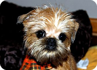 SCRUFFY - ADOPTION PENDING   Adopted Puppy   Little Rock ... Adopt A Brussels Griffon Puppy