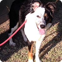 Adopt A Pet :: COOKIE - San Pedro, CA