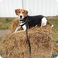 Adopt A Pet :: Buddy - Richmond, MI