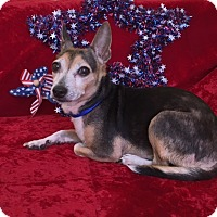 Chihuahua/Jack Russell Terrier Mix Dog for adoption in Philadelphia, Pennsylvania - Spirit