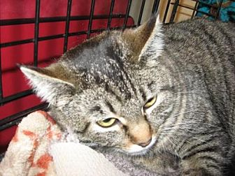 Domestic Shorthair Cat for adoption in Logan, Utah - Kit Kat