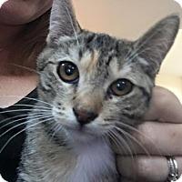 Domestic Shorthair Kitten for adoption in Rosamond, California - Char