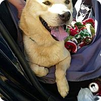 Adopt A Pet :: Lobo - Marina del Rey, CA