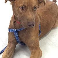 Adopt A Pet :: Carson- Adoption Pending - Spartanburg, SC