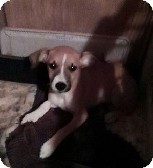 Border Collie/Australian Shepherd Mix Puppy for adoption in springtown, Texas - Hero