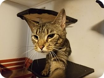 Domestic Shorthair Cat for adoption in Medford, New York - Tiger