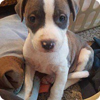 Pit Bull Terrier Mix Puppy for adoption in Allen, Texas - Maymay