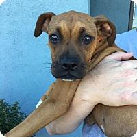 Adopt A Pet :: Banshee - Manhattan Beach, CA