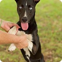 Adopt A Pet :: Beauty - Washington, DC