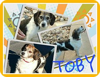 Beagle Mix Dog for adoption in Fort Collins, Colorado - Toby3