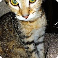 Domestic Shorthair Kitten for adoption in Tampa, Florida - Aries