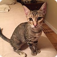 Calico Cat for adoption in Glendale, Arizona - Sprocket