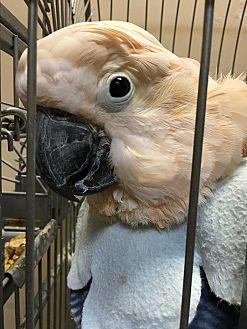 Cockatoo for adoption in Punta Gorda, Florida - Cracker