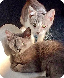 Russian Blue Kitten for adoption in Brooklyn, New York - Mimi & Sadie, Best Babies EVER