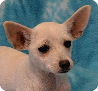 Chihuahua Dog for adoption in Eureka, California - Tulip