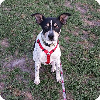 Feist Mix Dog for adoption in Wilmington, North Carolina - CHEVY