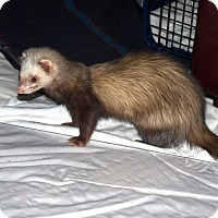 Adopt A Pet :: Fert - Acworth, GA