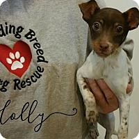 Adopt A Pet :: Holly - Joliet, IL