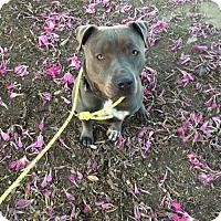 Adopt A Pet :: Bruno - Lancaster, CA