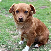 Adopt A Pet :: Farrah - Waco, TX