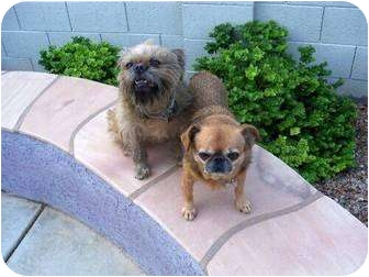 Brussels Griffon Dog for adoption in Mesa, Arizona - NESTLE & BUGSY in Tempe, AZ