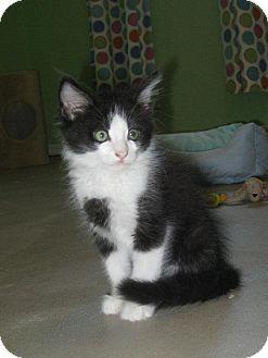 Domestic Longhair Kitten for adoption in Edmond, Oklahoma - Louie