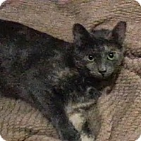 Domestic Shorthair Cat for adoption in Trevose, Pennsylvania - Babette
