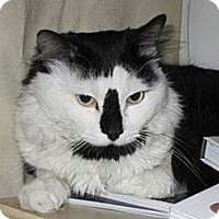Domestic Mediumhair Cat for adoption in New York, New York - Oscar