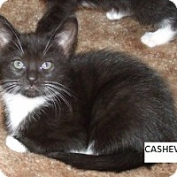 Adopt A Pet :: CASHEW - Acme, PA