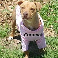 Adopt A Pet :: Caramel - Lawrenceburg, TN