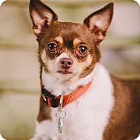 Adopt A Pet :: Albert - Portland, OR
