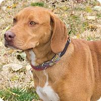 Adopt A Pet :: Bean - Elmwood Park, NJ
