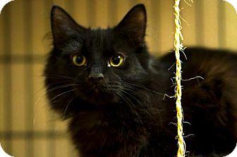 Domestic Mediumhair Cat for adoption in Staten Island, New York - Popo
