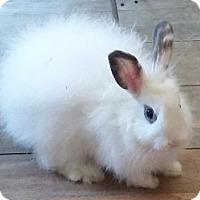 Adopt A Pet :: Cotton Candy - Woburn, MA