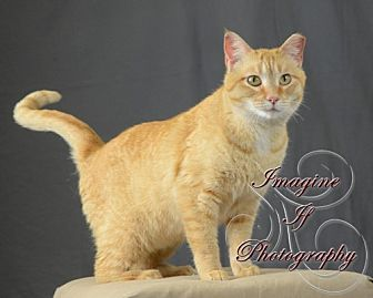 Domestic Shorthair Cat for adoption in Crescent, Oklahoma - Reece