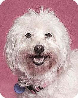 Maltese Mix Dog for adoption in Pt. Richmond, California - MOPSY