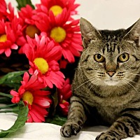 Domestic Shorthair Cat for adoption in Owenboro, Kentucky - CIARA