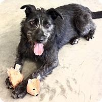 Adopt A Pet :: Zoey - Hillsboro, IL